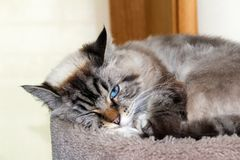Beautiful blue eyes female cat, hypoallergenic cat. Animal that can be pet by people who is allergic to cats. Gorgeous unique brown grey feline stock photo