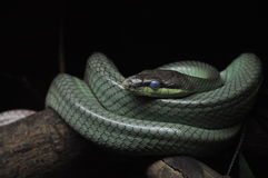 Beautiful blue eyes of a snake Royalty Free Stock Photos