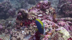 Beautiful blue fish on background red corals underwater in sea of Maldives. Swimming in world of colorful beautiful wildlife of reefs. Inhabitants in search of stock video footage