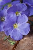 Beautiful blue flax flowers macro on an old wooden Royalty Free Stock Photos