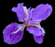 Beautiful blue fleuret- Iris Royalty Free Stock Photography