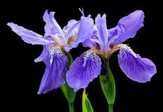 Beautiful blue fleuret- Iris Royalty Free Stock Photo