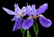 Beautiful blue fleuret- Iris Stock Image