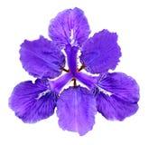 Beautiful blue fleuret- Iris Stock Photos