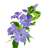 Beautiful blue flower Royalty Free Stock Images