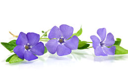 Beautiful blue flower Royalty Free Stock Photos