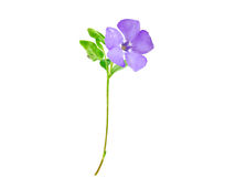 Beautiful blue flower Stock Photography