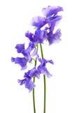 Beautiful blue flower royalty free stock image