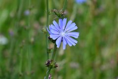 Beautiful blue flower of chicory on green grass background. Abstract floral spring or summer nature backdrop stock photos