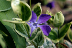 Beautiful blue flower Stock Photo