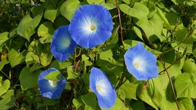 Beautiful blue flower in garden stock video footage