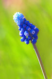Beautiful blue flower on green Stock Photo