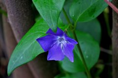 Beautiful blue flower with green leaves close up stock photos