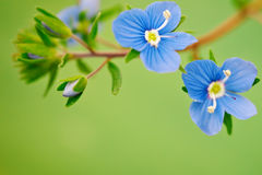 Beautiful blue flower medicinal veronica. Outdoors. Royalty Free Stock Image