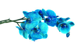 Beautiful blue flower Orchid, phalaenopsis Stock Photography
