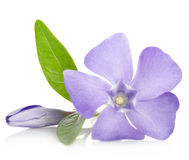 Beautiful blue flower periwinkle with bud Stock Photos