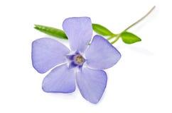 Beautiful blue flower periwinkle Royalty Free Stock Photo