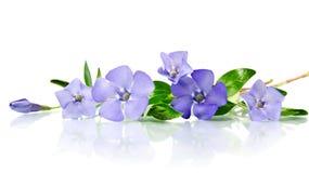 Beautiful blue flower periwinkle Royalty Free Stock Image