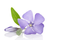 Beautiful blue flower periwinkle Stock Images
