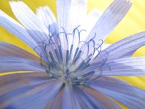 Beautiful blue flower of wild common chicory plant royalty free stock photography