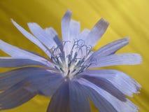 Beautiful blue flower of wild common chicory plant Cichorium intybus. royalty free stock image