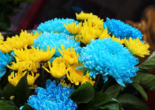 Beautiful blue flower and yellow  flower aster Stock Image