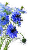 Beautiful blue flowers. Stock Photos