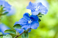 Beautiful blue flowers. Beautiful blue daze wet with dew drops stock images