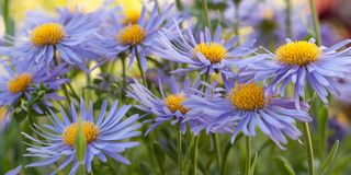Beautiful blue flowers aster amellus. Beautiful flowers aster amellus with fluffy blue petals blooming in a summer park or in the garden stock images