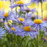 Beautiful blue flowers aster amellus. Beautiful flowers aster amellus with fluffy blue petals blooming in a summer park or in the garden royalty free stock photo