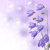 Beautiful blue flowers campanula Royalty Free Stock Images