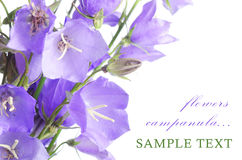 Beautiful blue flowers campanula Royalty Free Stock Image