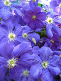 Beautiful blue flowers of clematis Stock Photography