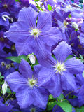 Beautiful blue flowers of clematis Royalty Free Stock Images