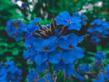 Beautiful blue flowers, close-up. Spring summer border template floral background. Light air delicate artistic image, free space. Blue flower background royalty free stock photo