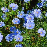 Beautiful blue flowers on the flower bed. royalty free stock image