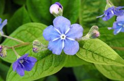 Beautiful blue flowers in garden, Lithuania stock image