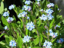 Beautiful blue forget-me-not flower in summer Stock Images