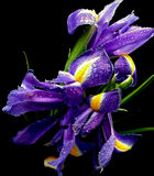 Beautiful blue flowers. Beautiful blue iris flowers with waterdrops Royalty Free Stock Photos