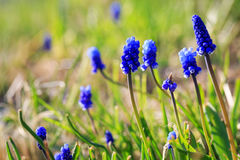 Beautiful blue flowers Royalty Free Stock Images