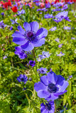 Beautiful blue flowers Stock Images