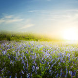 Beautiful blue flowers at the sunset Stock Photography