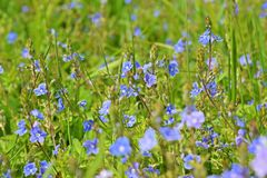 Beautiful blue forget-me-nots bloomed. royalty free stock image