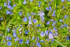 Beautiful blue forget-me-nots bloomed. stock photo