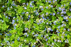 Beautiful blue forget-me-nots bloomed. royalty free stock photography