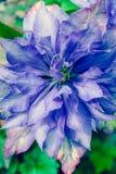 Beautiful, full clematis flowers in the garden, close up shot. Beautiful, blue full clematis flowers in the garden, close up shot Stock Image
