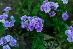 Blue flowers in a garden royalty free stock photo