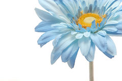 Beautiful blue gerbera daisy isolated on white. Beautiful blue color gerbera daisy isolated on white background with copyspace Stock Images