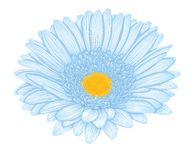 Beautiful blue gerbera isolated on white background . Royalty Free Stock Photos