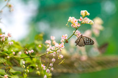 Beautiful Blue Glassy Tiger butterfly in a garden Royalty Free Stock Photos